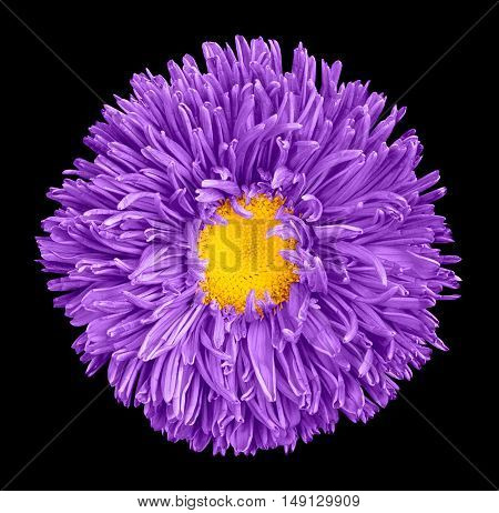 Violet Aster Flower With Yellow Heart Macro Photography Isolated On Black