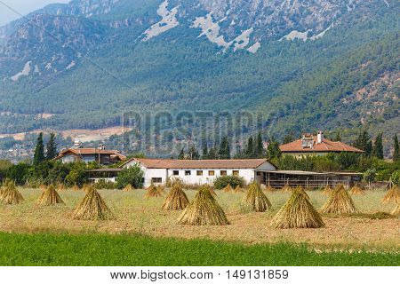 Field With Drying Sesame