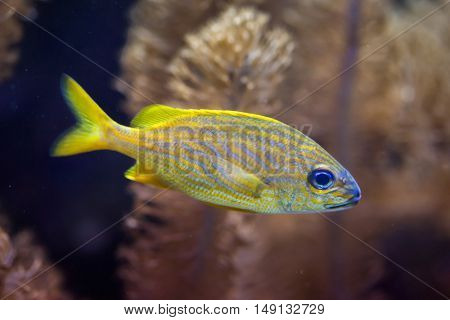 French grunt (Haemulon flavolineatum). Marine fish.