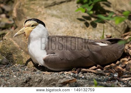 Masked lapwing (Vanellus miles miles), also known as the masked plover. Wildlife animal.