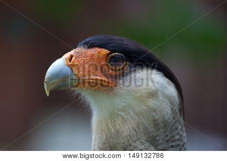 Northern crested caracara (Caracara cheriway). Wildlife animal.