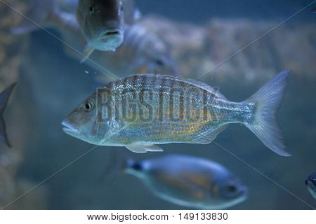 Sand steenbras (Lithognathus mormyrus), also known as the striped seabream.