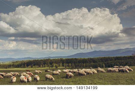 Flock of sheep grazing on a green meadow in Brasov county Transylvania region Romania.