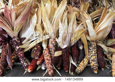 Several ears of colorful Indian Corn arranged on table on farmers market, a welcoming decoration for the holiday season.