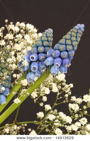 Muscari And Gypsophila On A Plain Background