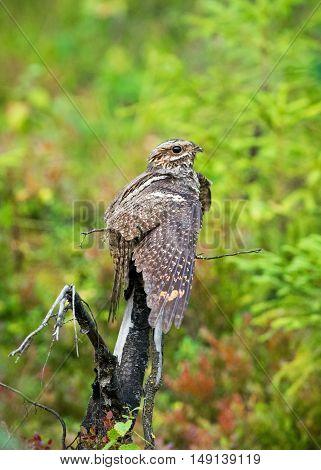 Female nightjar sitting on a dry tree
