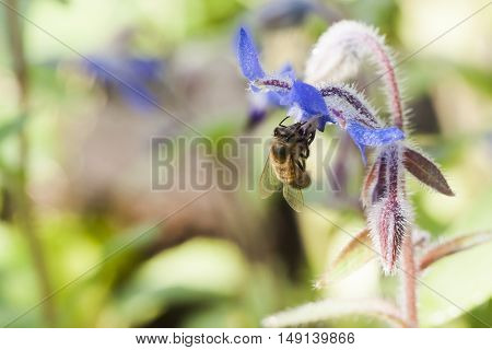 a honey bee pollinating a blue starflower
