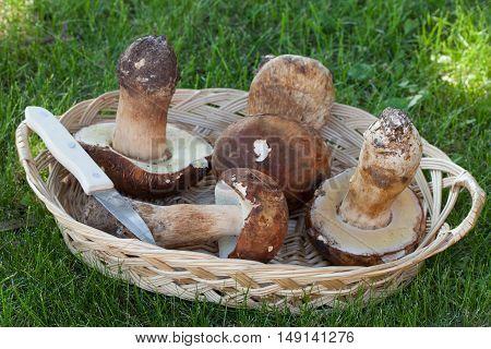 Freshly Picked Porcini Basket
