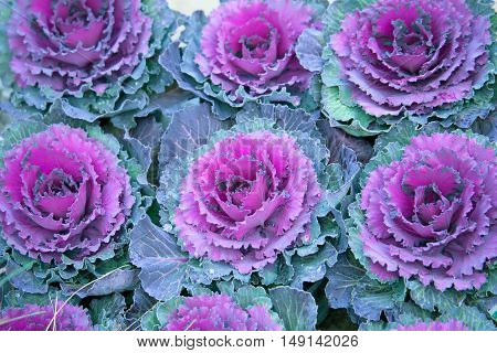 Ornamental decorative cabbage or kale Brassica oleracea