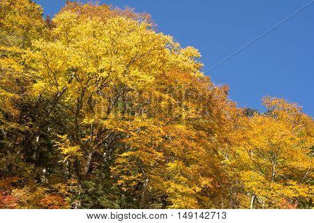 Autumn bright yellow trees under blue sky in Nagano