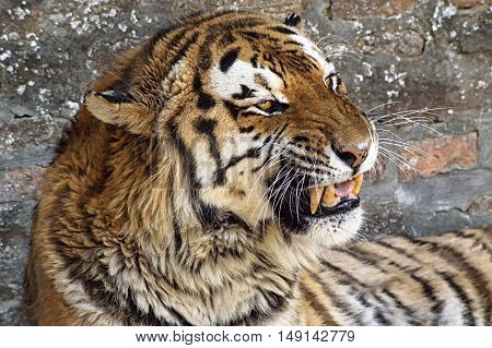 Close up of a tiger face with bare teeth of Bengal Tiger.
