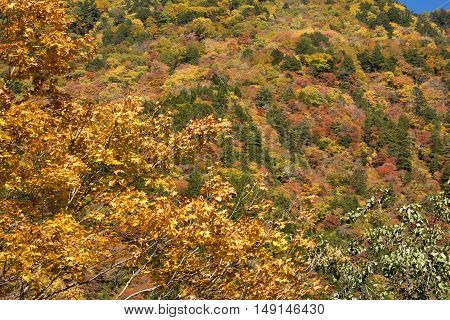 Autumn painted maple tree in front of colorful forest in Nagano