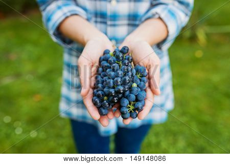 Close up, hands of unrecognizable young woman in checked shirt holding bunch of blue grapes