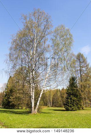 Dissolve the spring birch. Spring Nature in Pavlovsk Saint Petersburg park.