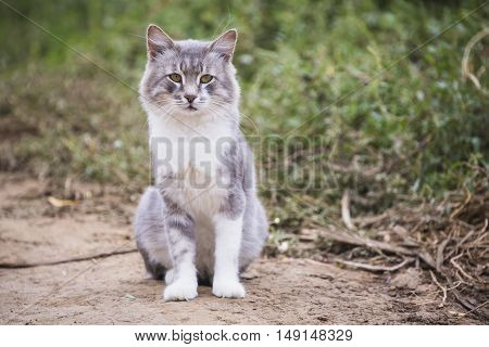 A beautiful grey white cat outdoors looking