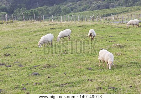 Small flock eating grass in countryside field.