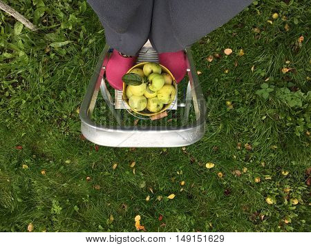 The gardener harvests the apples in the fall, using aluminum ladders step ladders at pink galoshes, a bucket of green apples