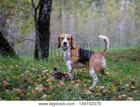 Dog Beagle on a walk in the autumn forest