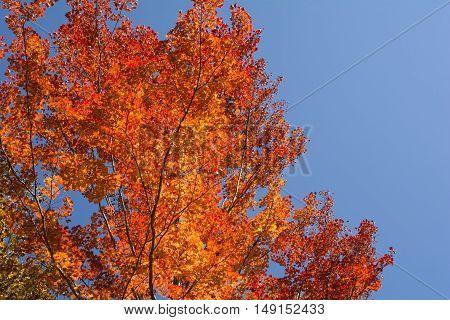 Autumn red siebold maple tree under blue sky