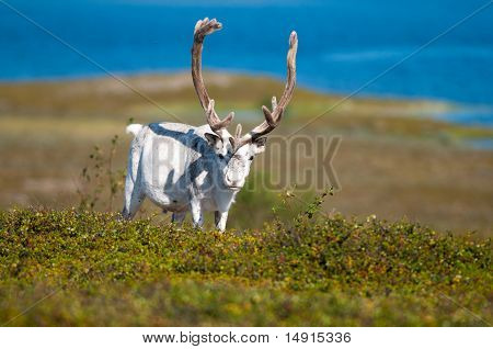 White reindeer grazing