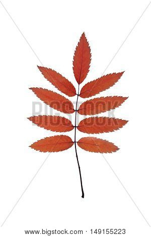 bright autumn leaves isolated on white close-up
