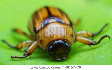 The Beetle on green leaf. close up