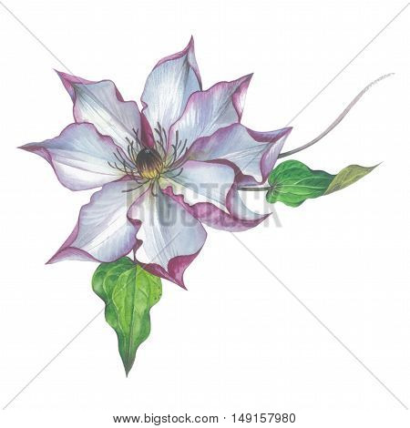 Wildflower clematis flower in a watercolor style isolated. Full name of the plant: clematis, wisteria, rhododendron. Aquarelle flower could be used for background, texture, pattern, frame or border.