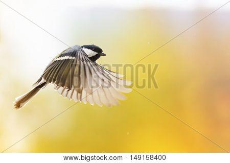 beautiful bird chickadee flutters on a Sunny day