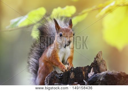 fluffy red squirrel collects in the autumn forest seeds