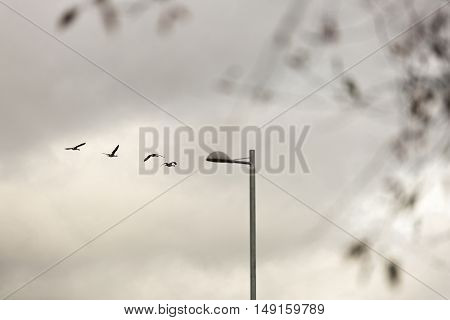 Canada Geese Flying with street light and a cloudy sky.