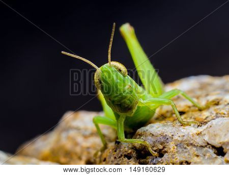 The green grasshopper on stone background on black background