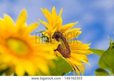 Healthy  Helianthus Annuus
