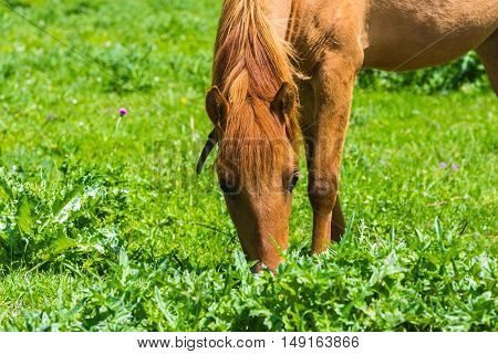 Horse grazes. Horse on green meadow, close up