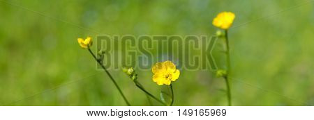 Buttercup on green meadow. Spring background. Selective focus