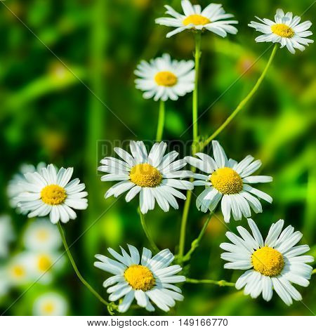 Blooming white daisies in the summer meadow. Beautiful green field landscape
