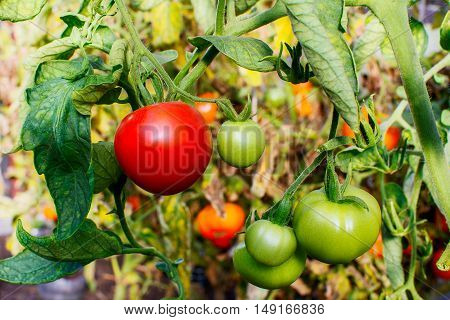 Bush of ripe red tomato growing in open ground. Tomatoes in vegetable garden. Cultivated fresh vegetables. Tomato growing in garden.