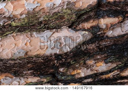 Texture Af Old Pine Tree Bark
