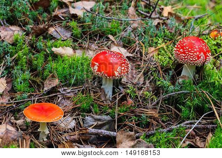 Red Amanita In The Autumn Forest On A Cloudy Day