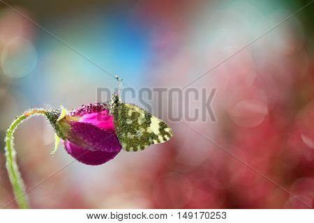 Beautiful butterfly sitting on a pea fragrant and waiting for a friend to guess together