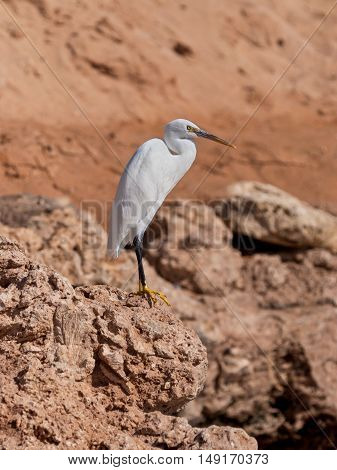 The western reef white heron (Egretta gularis) also called the western reef egret is a medium-sized heron found in southern Europe Africa and parts of Asia.