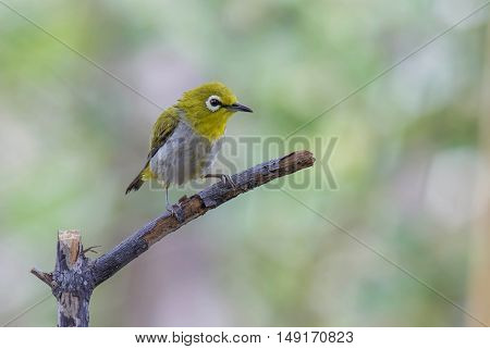 Oriental white-eye With a yellow rag water clinging branches.