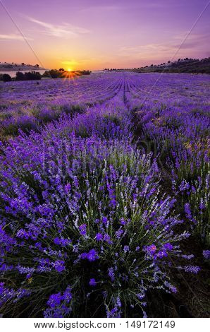 Purple sunset over lavender field in Bulgaria