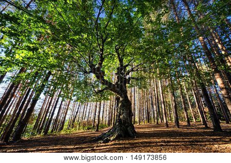 big old tree in a pine forest