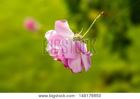 A pink rose falling to the ground