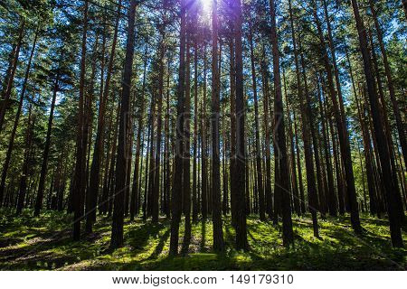 Summer pine trees forest in Burabai Nature National park, Kazakhstan