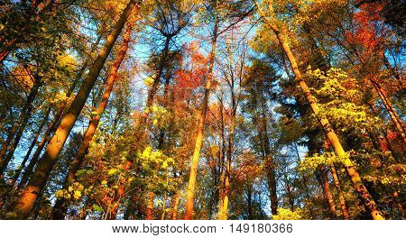 Autumn forest scenery with colourful tall treetops in front of the clear blue sky
