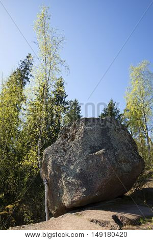 The falling stone and birch, may day. Leningrad region, Vyborg