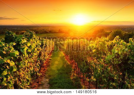 Landscape with a warmly illuminated vineyard on a hill and the warm sunset sky