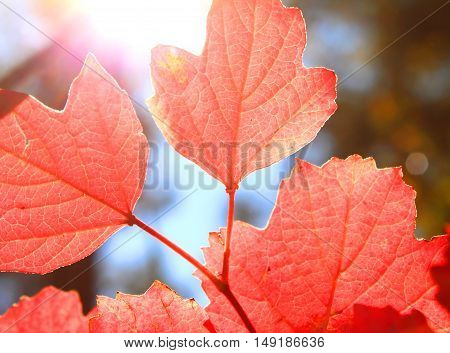 Red autumn leaves in autumn on the background of sunny sky/soft selective focus