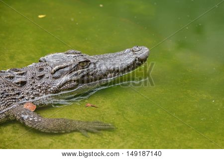 Freshwater crocodile or alligator or crocodile swamp freshwater species are native to Thailand in Vietnam Cambodia Laos Thailand Kalimantan Java and Sumatra.